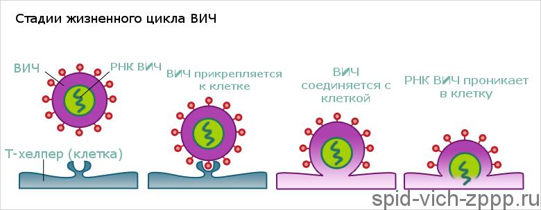Этапы жизненного цикла ВИЧ